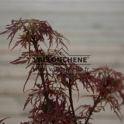 ACER palmatum 'Red Baby Lace' en Avril